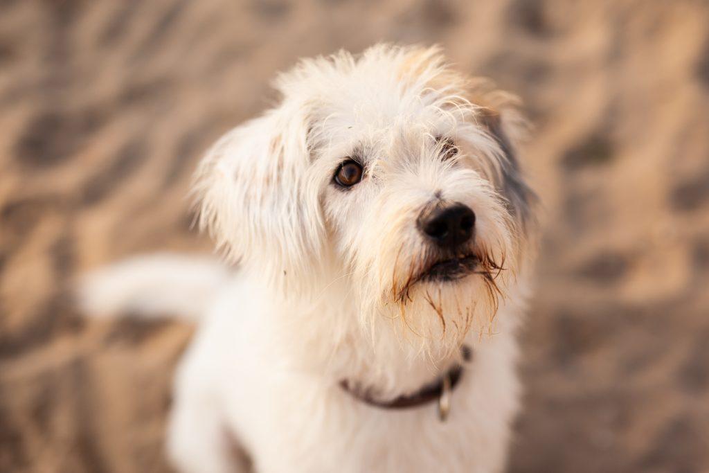 Hund schaut erwartungsvoll